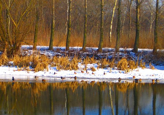 Dunai csendélet, a maga természetességében: hó, jég és kacsák mindenhol. Itt töltheted le a háttérképet! »