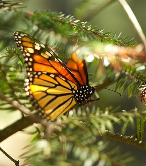Monarch Pillangórezervátum, Mexikó  A több mint 65 ezer hektáron elterülő bioszféra-rezervátumba minden év novemberében királypillangók milliói érkeznek, narancssárga színpompájukkal Mexikó egyik felejthetetlen szépségű helyévé varázsolva a tájat.