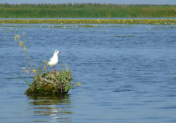 A Tisza-tó igazi vízi paradicsom, mely páratlan madárvilágnak ad otthont, több mint kétszáz madárfajnak, melyek jelentős része költésre érkezik ide. A Tiszavalki-öbölben található Tisza-tavi Madárrezervátum védett természeti kincs, elismert vízimadár-élőhely nemzetközi szinten is, nem utolsósorban pedig része az UNESCO Világörökség listáján szereplő Hortobágyi Nemzeti Parknak. A tó ezen részének bizonyos szakaszain is lehetséges a csónakos túra. A képen egy bájos dankasirály látható.