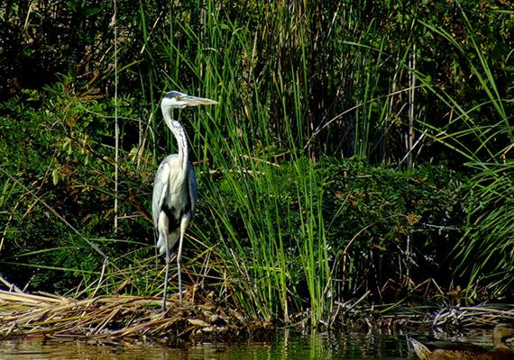 Szürke gém a Tisza-tónál - a madárfaj szinte minden vizünknél megtalálható, elsősorban azonban a Tisza-tónál és a Felső-Tisza vidékén gyakori.
