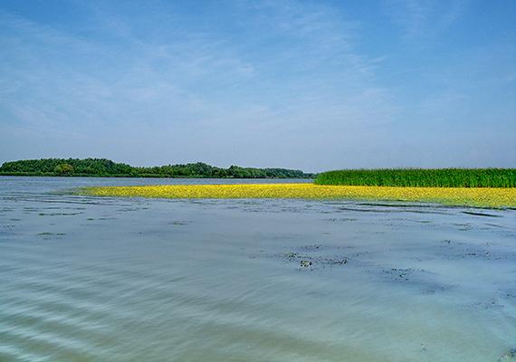 Védett tündérfátyol virágzik a Tisza-tavon - a tó sarudi oldalán Európa viszonylatában is jelentős kiterjedésű tündérfátyol-mező található.