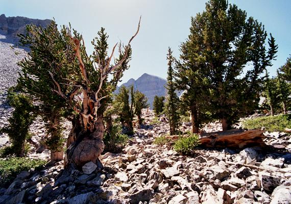 A helyválasztást indokolták a park területén található ősi szálkásfenyők is: a Prométheusz-fa nevű szálkásfenyő a világ legöregebb, mintegy ötezer éves élőlénye volt, mielőtt kutatási céllal kivágták volna.