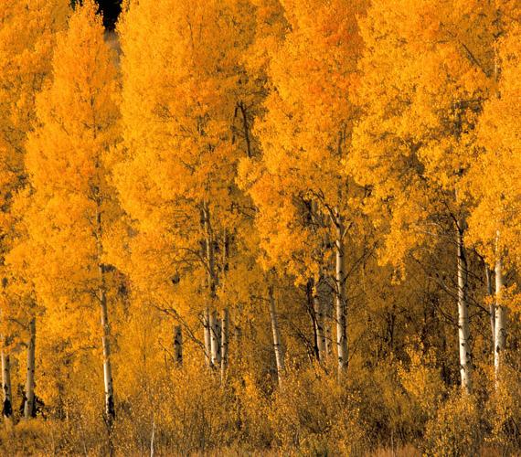 Az ősz különös nyugalmat von Aspenre, a fák aranyszínekbe burkolóznak. Kattints ide a háttérképért!