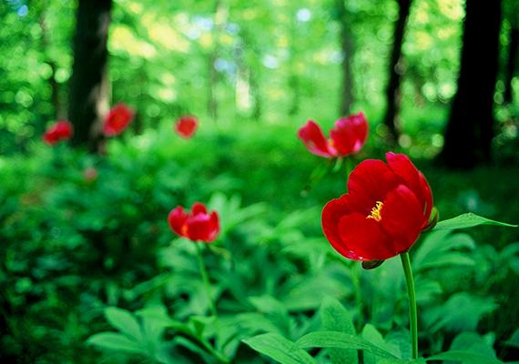 A bánáti bazsarózsa ritka és védett növény, melynek eszmei értéke 250 ezer forint. Egyik legjelentősebb megjelenési helyének számít Európában a Mecsek, pontosabban a Zengő gerince.