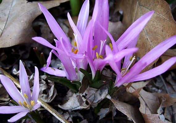 A tavaszi egyhajúvirág szintén 250 ezer forint eszmei értékkel bír.