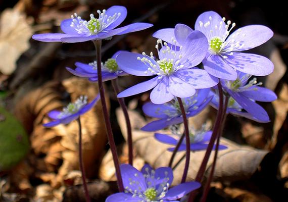 A gyakran szőrös ibolyának és violának is nevezett nemes májvirágot előszeretettel fűzik vadvirágcsokrokba, pedig szintén védett növény, eszmei értéke 5000 forint.