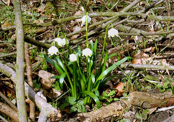 A tavaszi tőzike sok helyen a hóvirághoz hasonló hófehér virágszőnyeget alkot tavasszal, leszakítani azonban ezt sem szabad, eszmei értéke 5000 forint. A cikkben felsorolt növények csak töredékét jelentik a védett magyarországi növényfajoknak - részletesebb listát ide kattintva találsz!