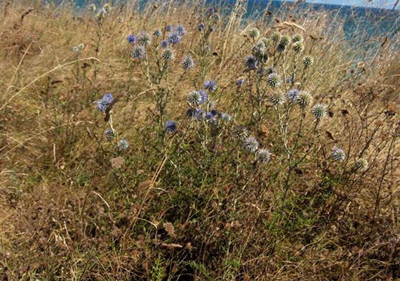 Az őszirózsafélék családjába tartozó kék szamárkenyér is októberig virágzik, eszmei értéke pedig 10 ezer forint. További védett növényekről ide kattintva tájékozódhatsz.