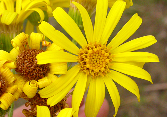 Az eszmei értékük szerint 10 ezer forintot érő, az őszirózsafélék családjába tartozó mocsári aggófű virágai egészen az első szeptemberi fagyokig nyílnak.