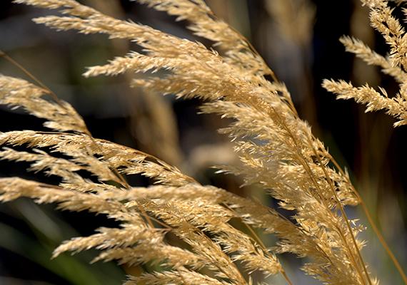 A júliustól szeptemberig virágzó tarka nádtippan védett fűfélénk, amelynek eszmei értéke szintén 5000 forint.