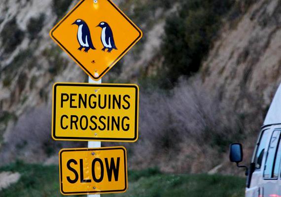 Új-Zélandon bármi megtörténhet, az pedig, hogy aprócska pingvinek szeljék át az utakat, igen gyakori.