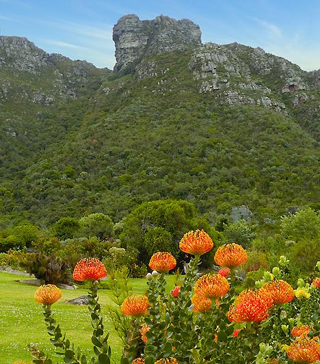 Kirstenbosch-kert, Dél-AfrikaA híres botanikus kert, a Kirstenbosch a Table-hegy lábánál, a dél-afrikai Cape Town-ban helyezkedik el. Az 1913-ban létrehozott kert sajátossága, hogy kizárólag őshonos növényeknek ad otthont, üvegháza azonban számos afrikai régió növényeit bemutatja. A parkból több túraútvonal is indul a hegyvidéki területek felé.