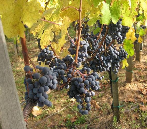 Ebéd után a villányi Ördögárokba látogattunk, ahol néhány tőkén még ott van a szőlő. Bockék kézzel szüretelnek.