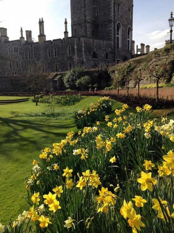 A kastély kertjében ilyenkor nyílnak a nárciszok: ez Erzsébet királynő egyik kedvenc virága. Minden reggel megcsodálja őket.